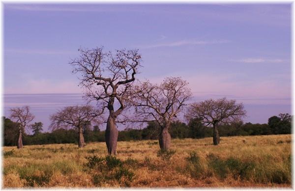 ... Flaschenbäume, typischer Baumwuchs entlang des Trans-Chaco